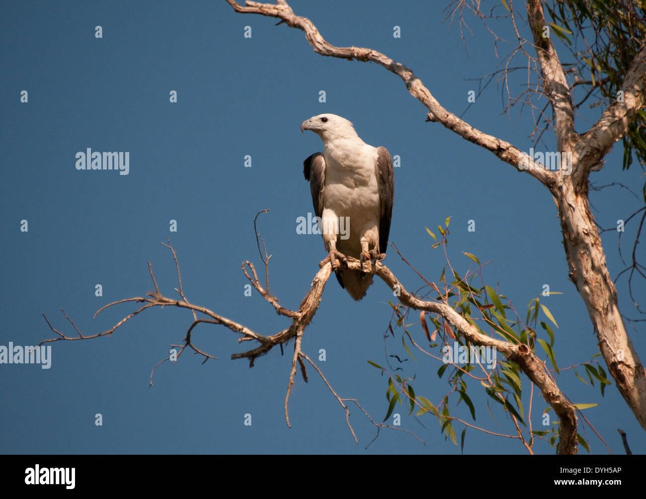 White-bellied Seeadler (Haliaeetus Leucogaster), South Alligator River, Kakadu National Park, Australien Stockfoto