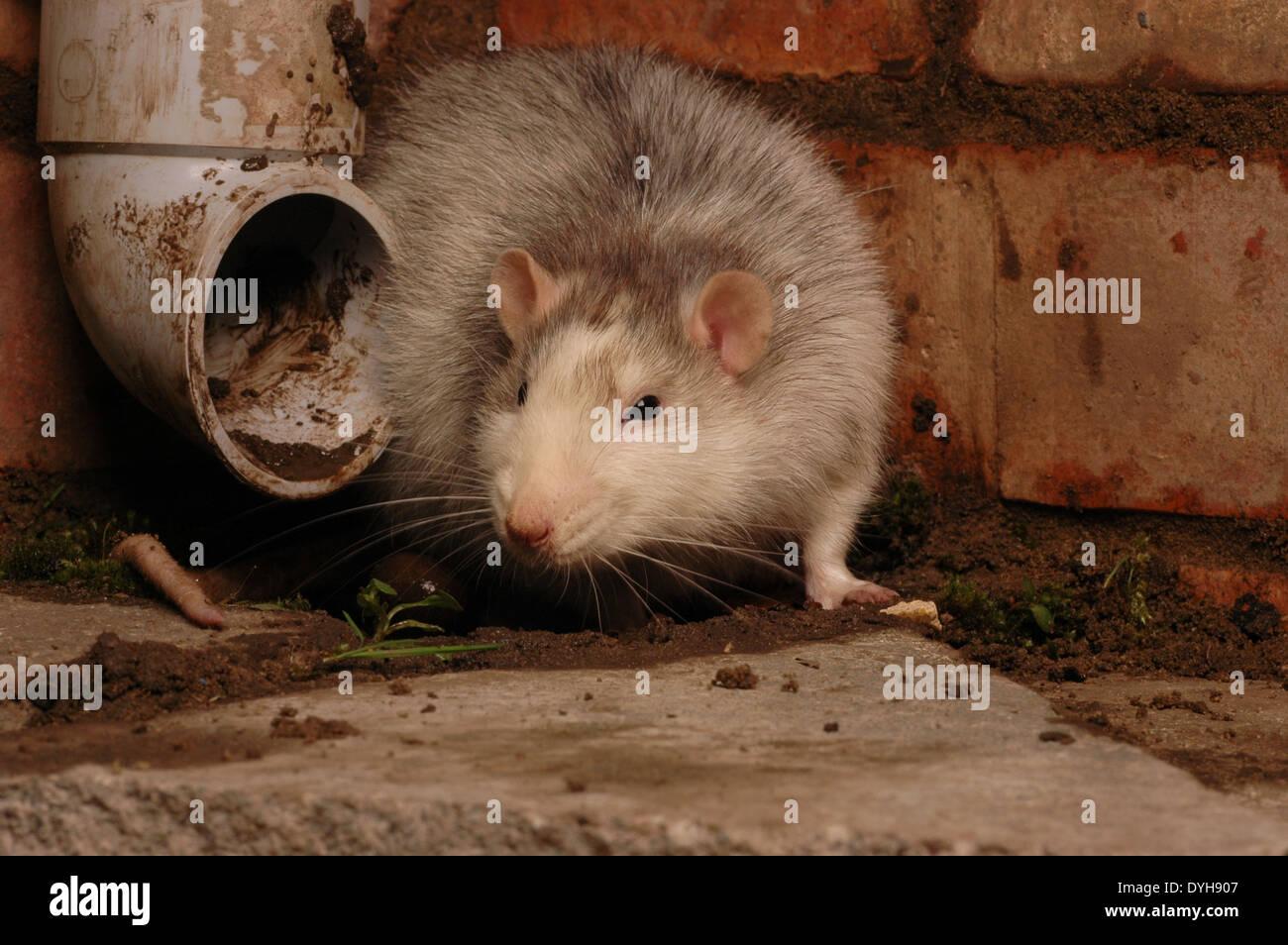 Haustier Ratte Neben Einem Abflussrohr Die Ausgefallene Ratte Ist
