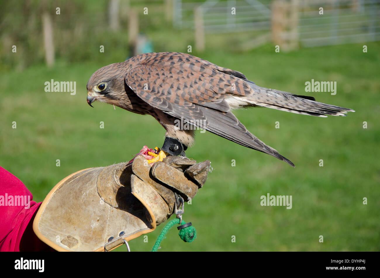 Turmfalken in einer Falknerei-Anzeige. Falco tinnunculus Stockbild