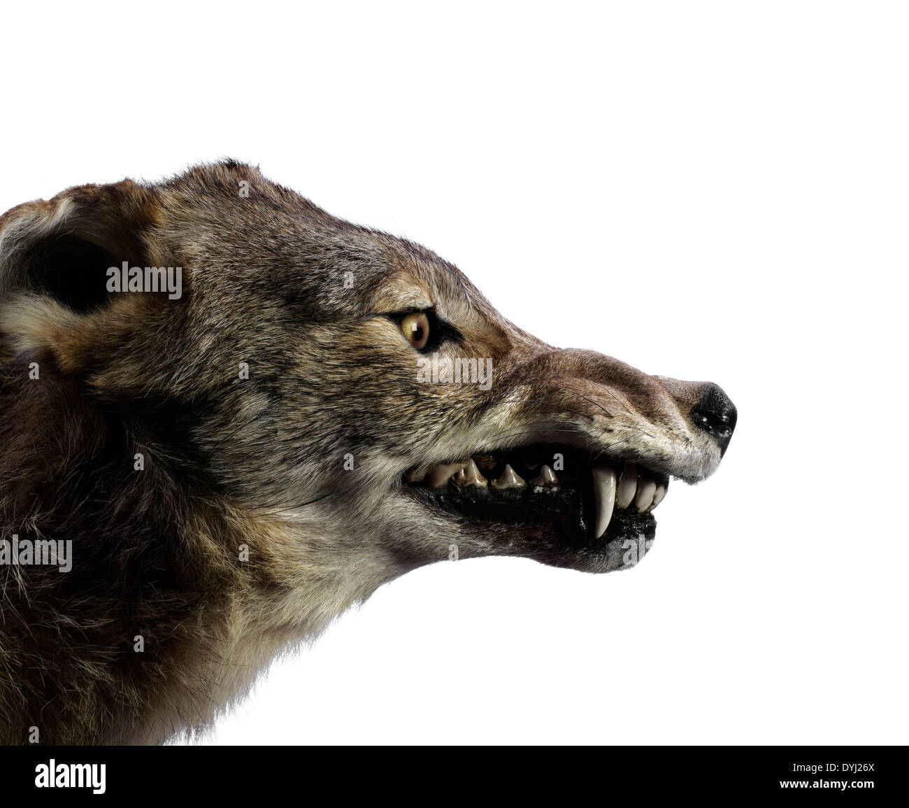 Studioaufnahme von einem Wolf Knurren Stockbild