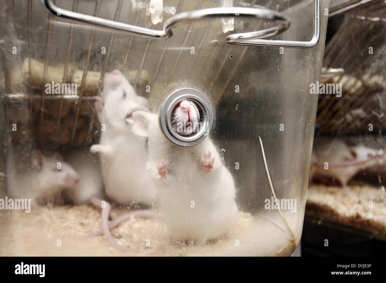 Weiße Ratten in einem Käfig Stockbild