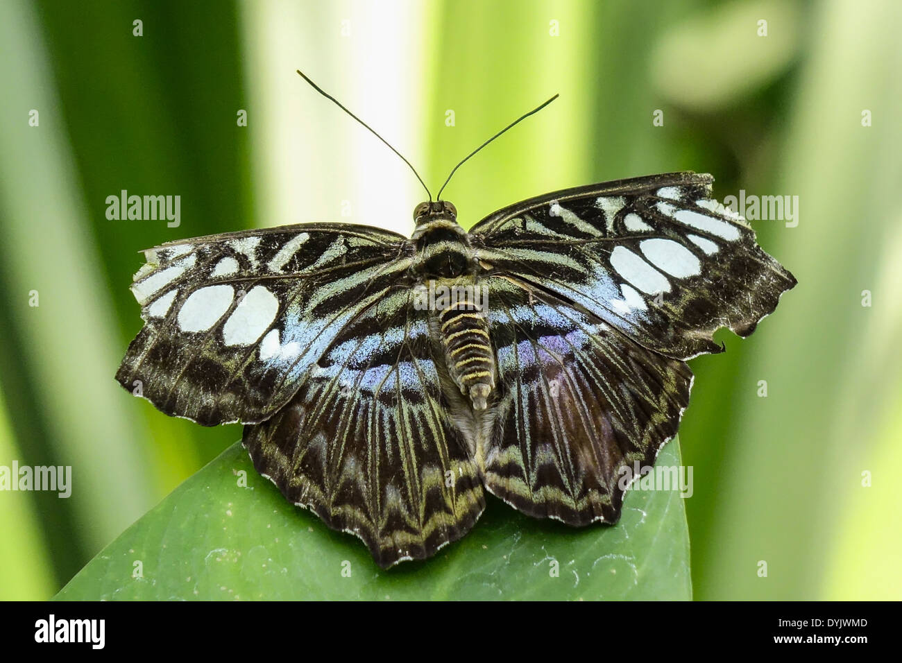 tropischer schmetterling blauer klipper parthenos sylvia lilacinus stockfoto bild 68642125. Black Bedroom Furniture Sets. Home Design Ideas
