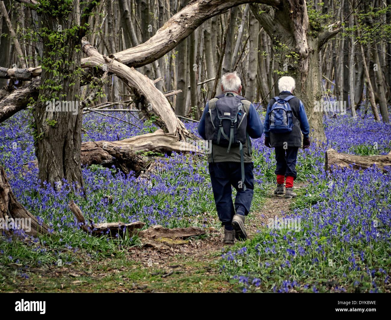 Spaziergänger im Wald neben der North Downs Way Bluebell in der Nähe von Chilham Kent UK Stockbild