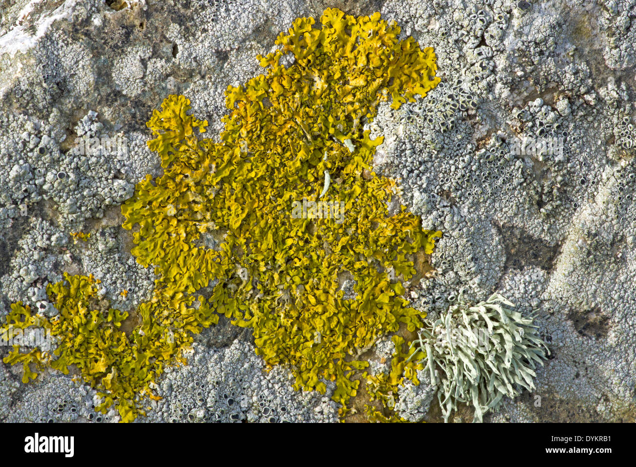 Xanthoria Aureola. Eine gemeinsame Flechte gefunden auf Felsen am Meer Stockbild