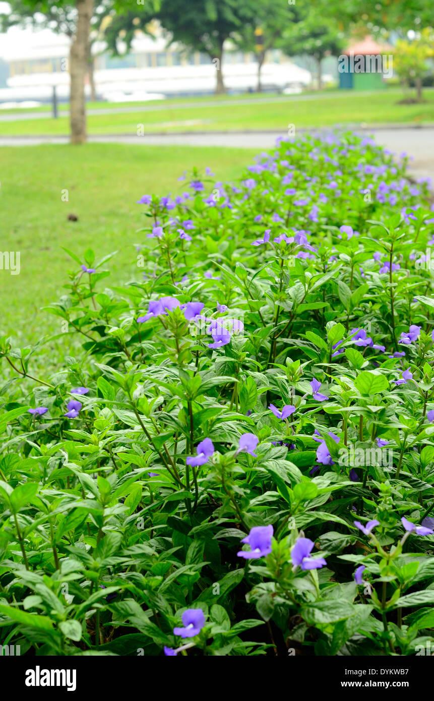 coeruleus blue stockfotos coeruleus blue bilder alamy. Black Bedroom Furniture Sets. Home Design Ideas