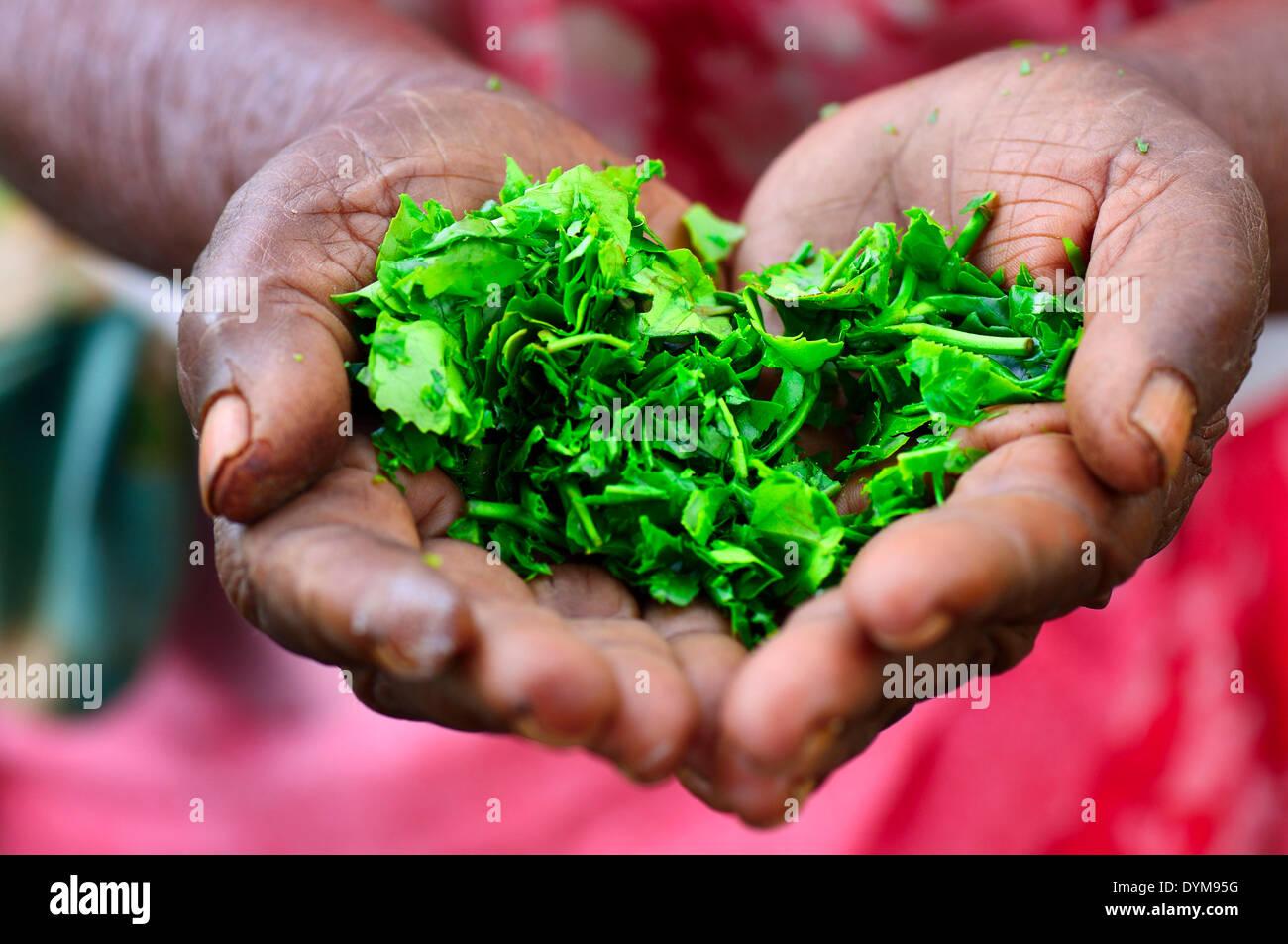 Ältere Frau, die Teeblätter in ihren Händen, Ella, Uva, Sri Lanka hält Stockbild