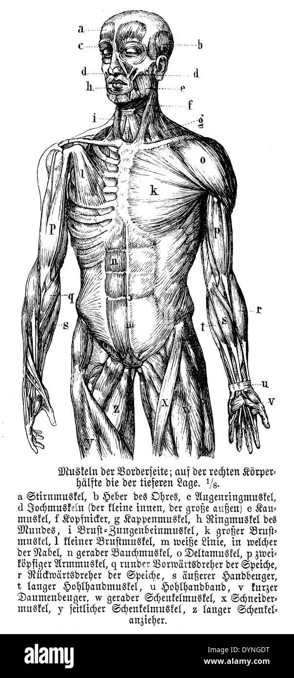 Human Anatomy Engraving Stockfotos & Human Anatomy Engraving Bilder ...