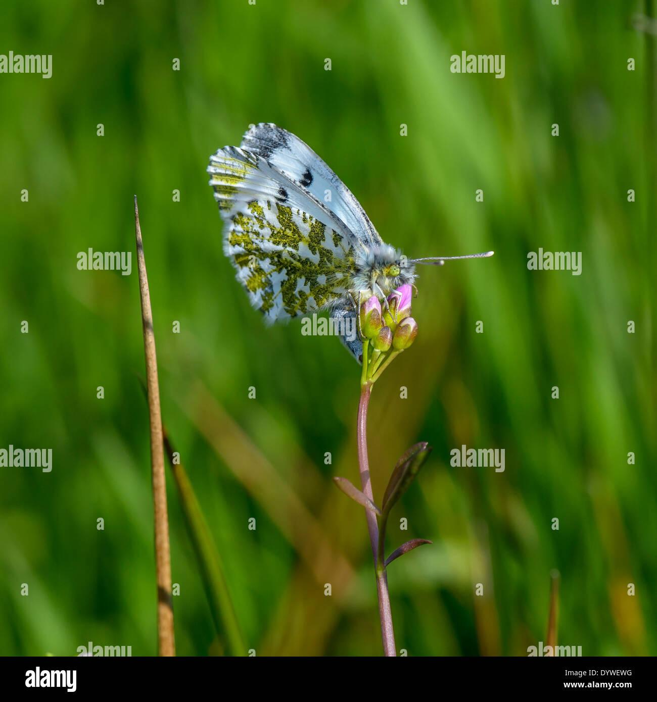 Weibliche orange Spitze Schmetterling Eiablage auf Larven Pflanze ...