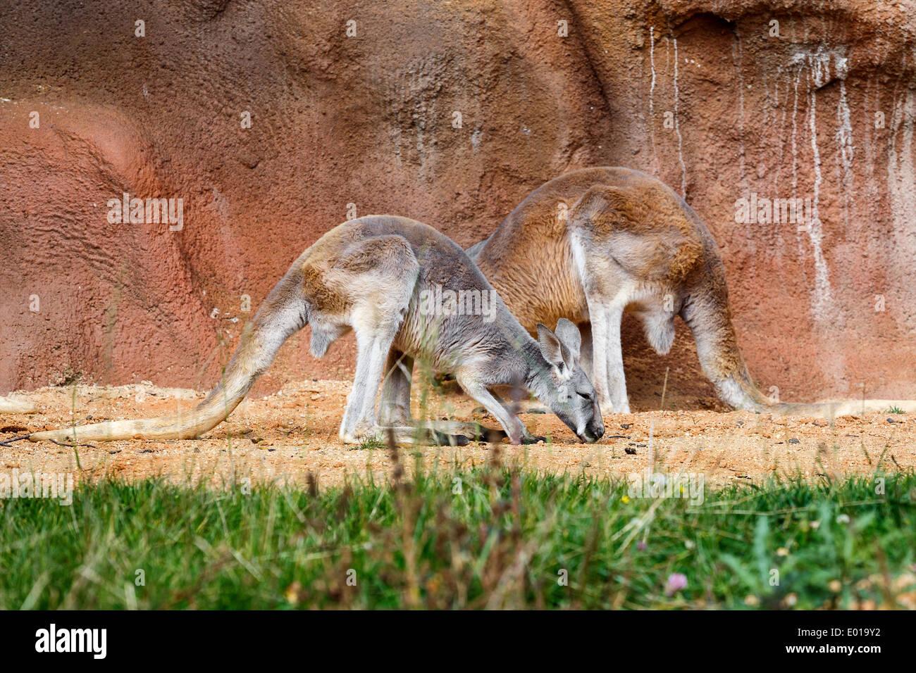 Ziemlich Baby Känguru Malvorlagen Zeitgenössisch - Druckbare ...