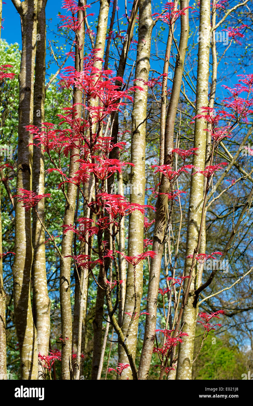 """Toona Sinensis"" Cedrela Sinensis Flamingo ""Chinesische Mahagoni"" 'Chinesischen Toon' 'Red Toon' Baum Stockfoto"