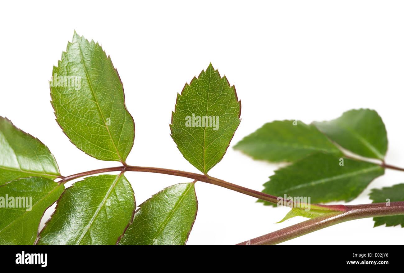 Rose Zweig mit Blättern isoliert auf weiss Stockbild