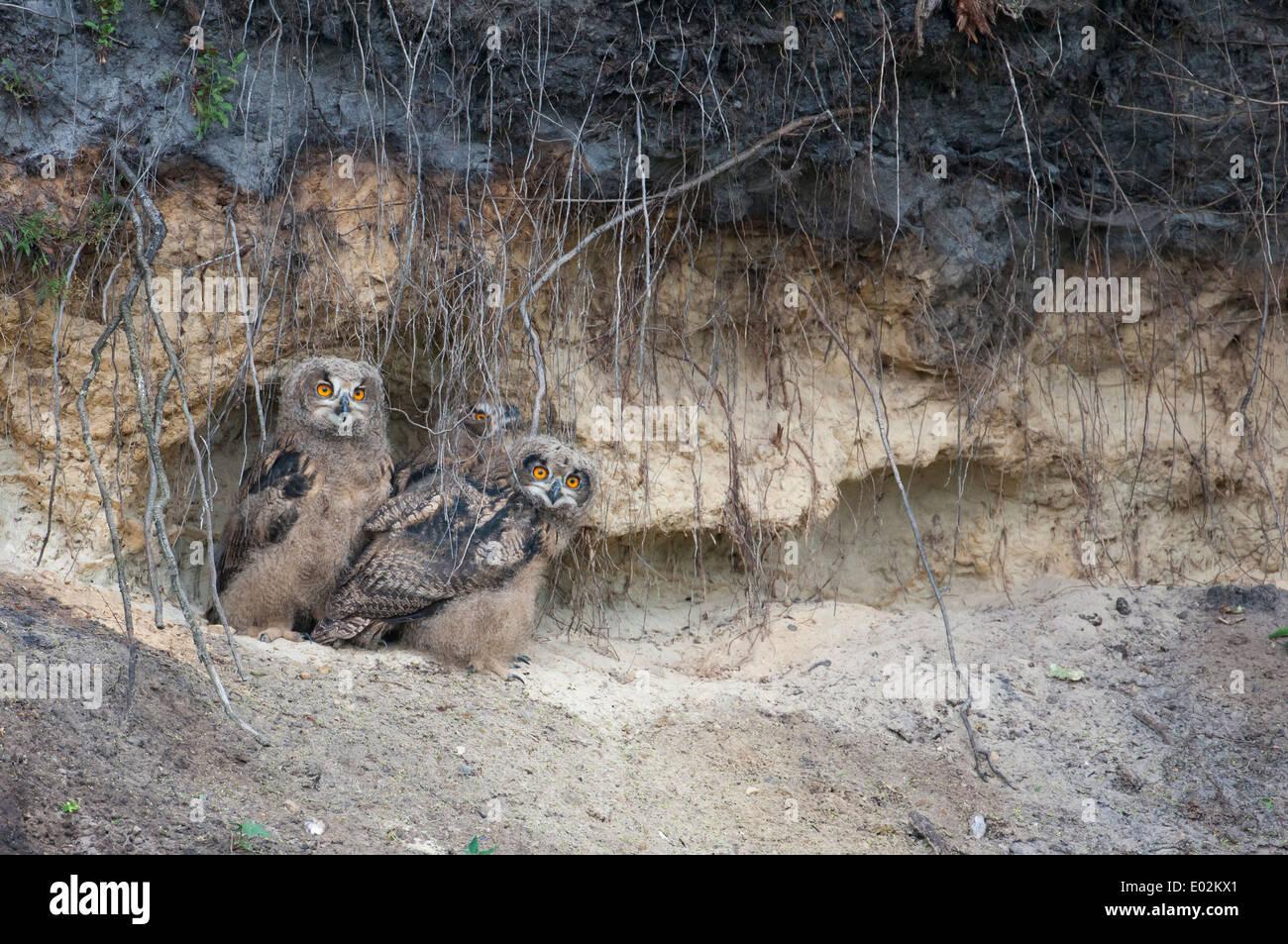 junge eurasische-Uhu, Bubo Bubo, Deutschland Stockbild