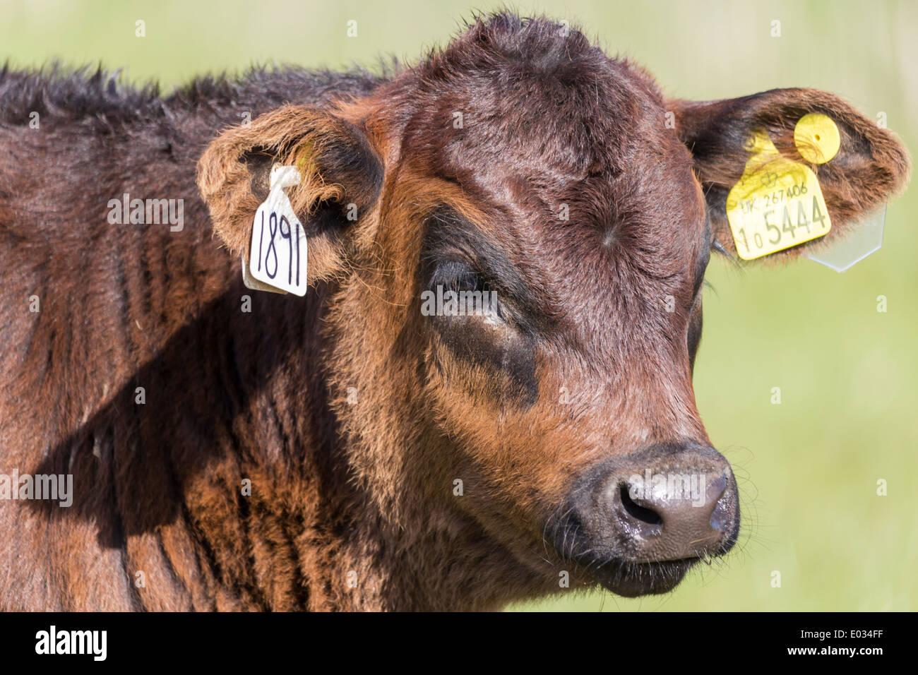 Rinder-ID Identität Ohrmarken-Tag Stockfoto