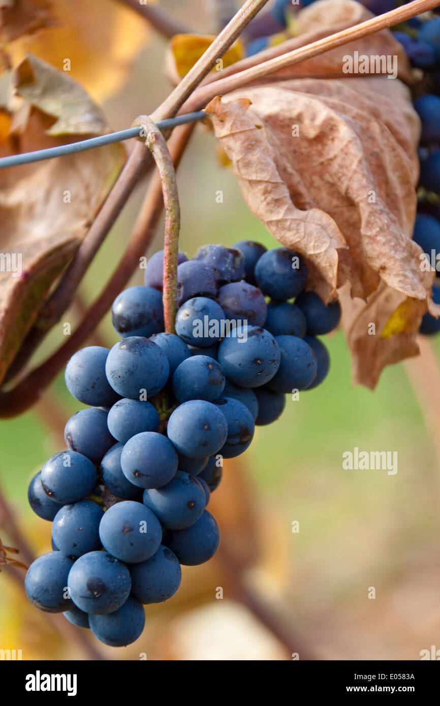 Die Trauben der Trauben im Herbst auf einem Rebstock im Weinberg, Weintrauben Im Herbst Auf Einem Rebstock Im Weingarten Stockbild