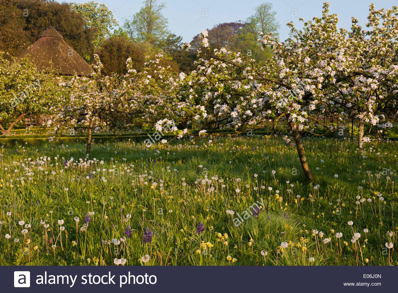 Apple Orchard underplanted Wiild Blumen Löwenzahn Schlüsselblumen Camassia Quamash Blüten Becher Obstbäume Blüten Frühlingsblumen Stockbild
