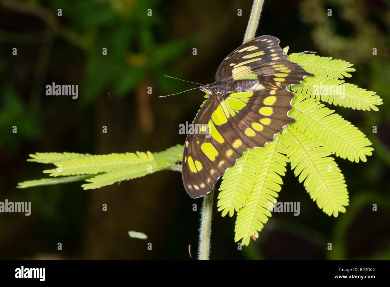 Eine Malachit-Schmetterling im Ruhezustand Stockbild