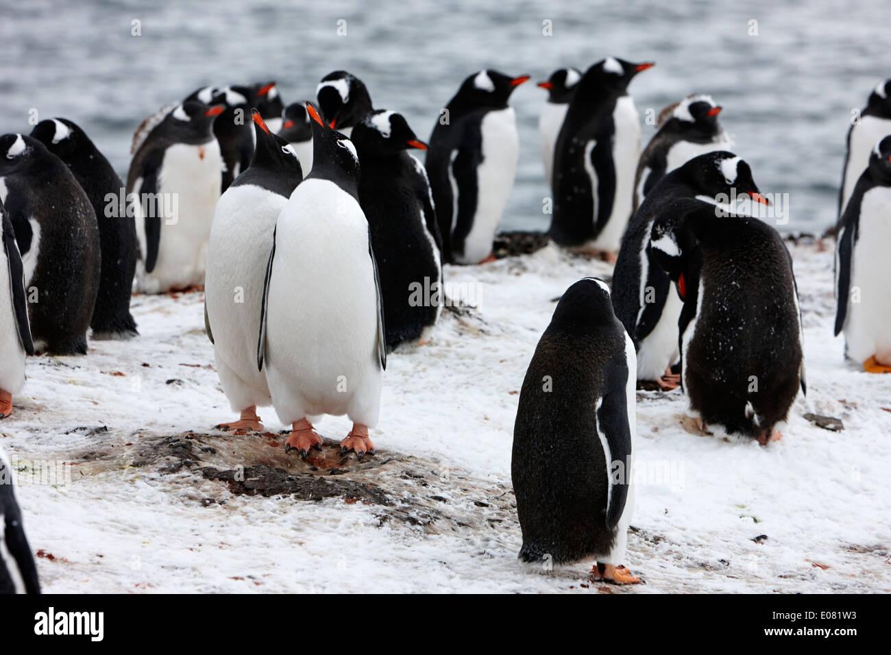 zwei Gentoo Penguins imitieren Verhalten als Teil des Werbens auf Hannah Punkt der Antarktis Stockbild
