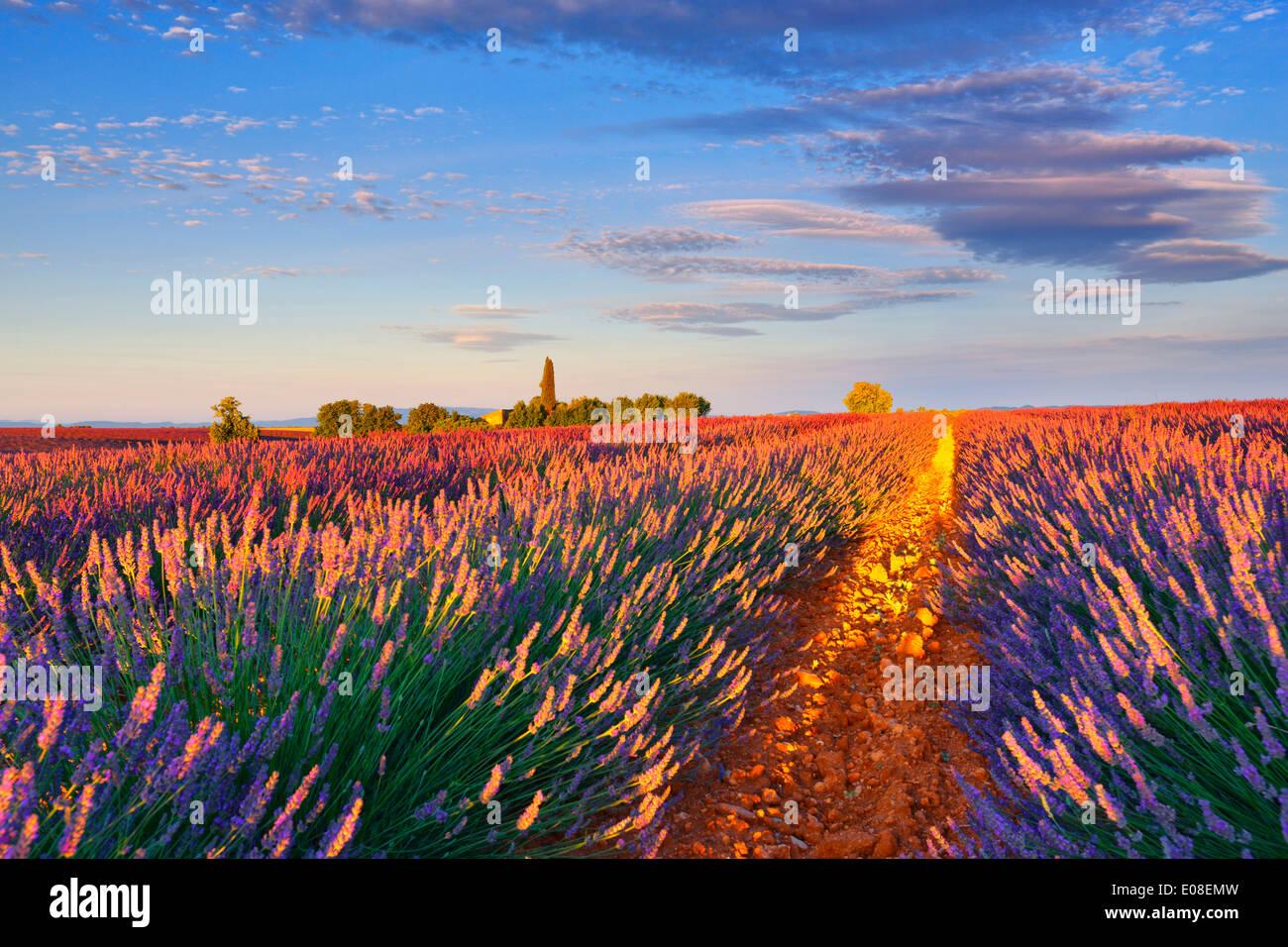 Lavendel-Feld in den Morgen. Valensole, Provence, Frankreich. Stockbild