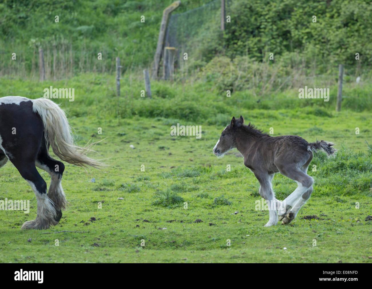 Gypsy Cob pferde Fohlen. Großbritannien Stockbild