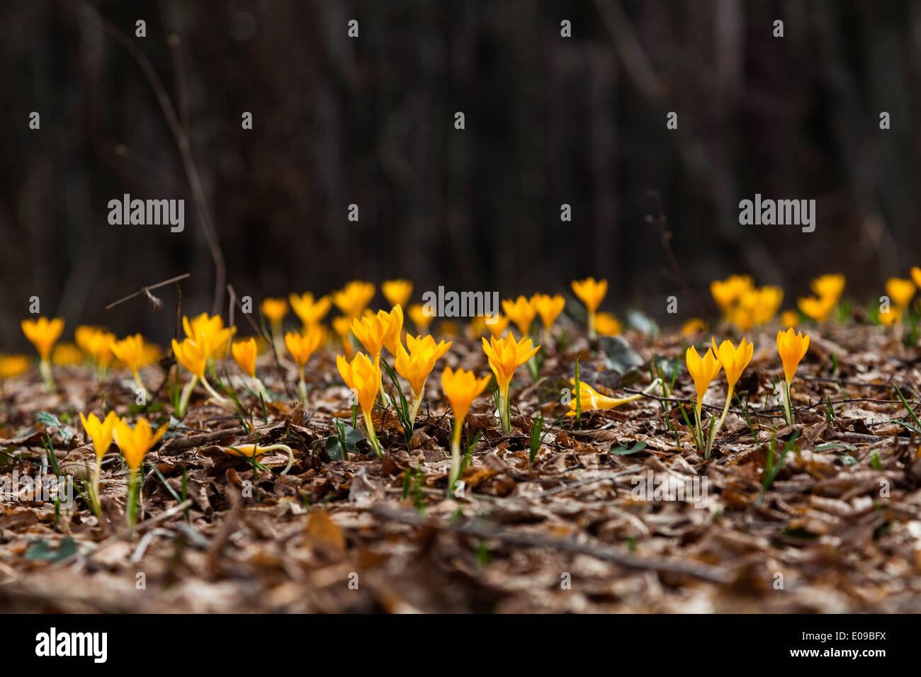 Eines Der Ersten Blumen Im Fruhling Dieses Kleine Krokus Herold