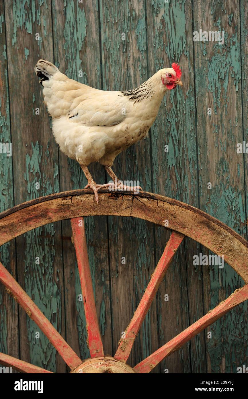 leichte Sussex Henne auf einem Karren-Rad Stockbild