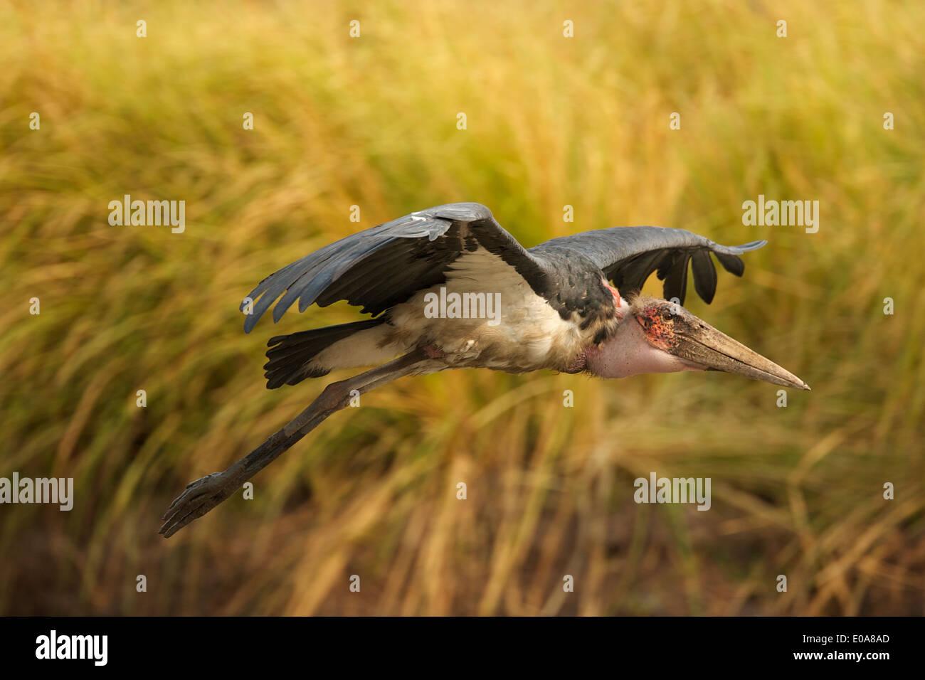 Marabou Storch - Leptoptilos Crumeniferus, Mana Pools Nationalpark, Simbabwe Stockbild
