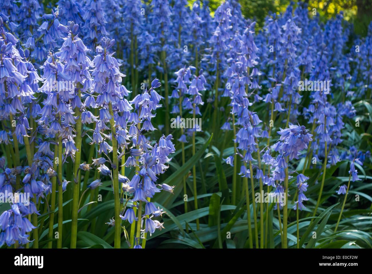 Spanische blaue Glockenblumen Glocken Hyazinthen Hyacinthoides Hispanica in Wald Wald. Jetzt als invasive Art in Großbritannien. Stockbild