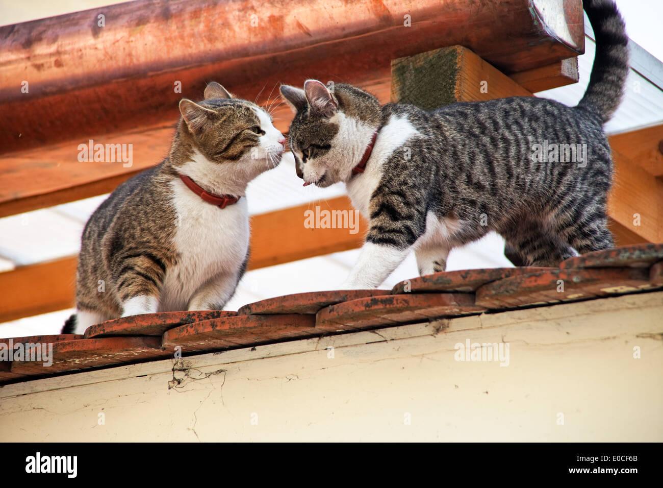 zwei katzen spielen auf dem dach eines hauses zwei katzen spielen auf dem dach eines malgrat. Black Bedroom Furniture Sets. Home Design Ideas