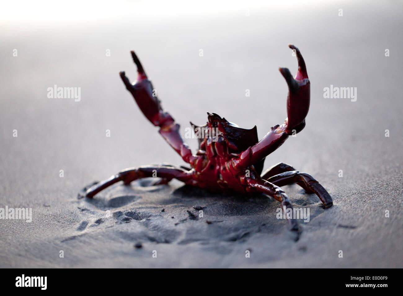 Eine Krabbe Kelp warnt der Fotograf seine Distanz, Oregon, USA (Pugettia ProduktA) zu halten Stockbild