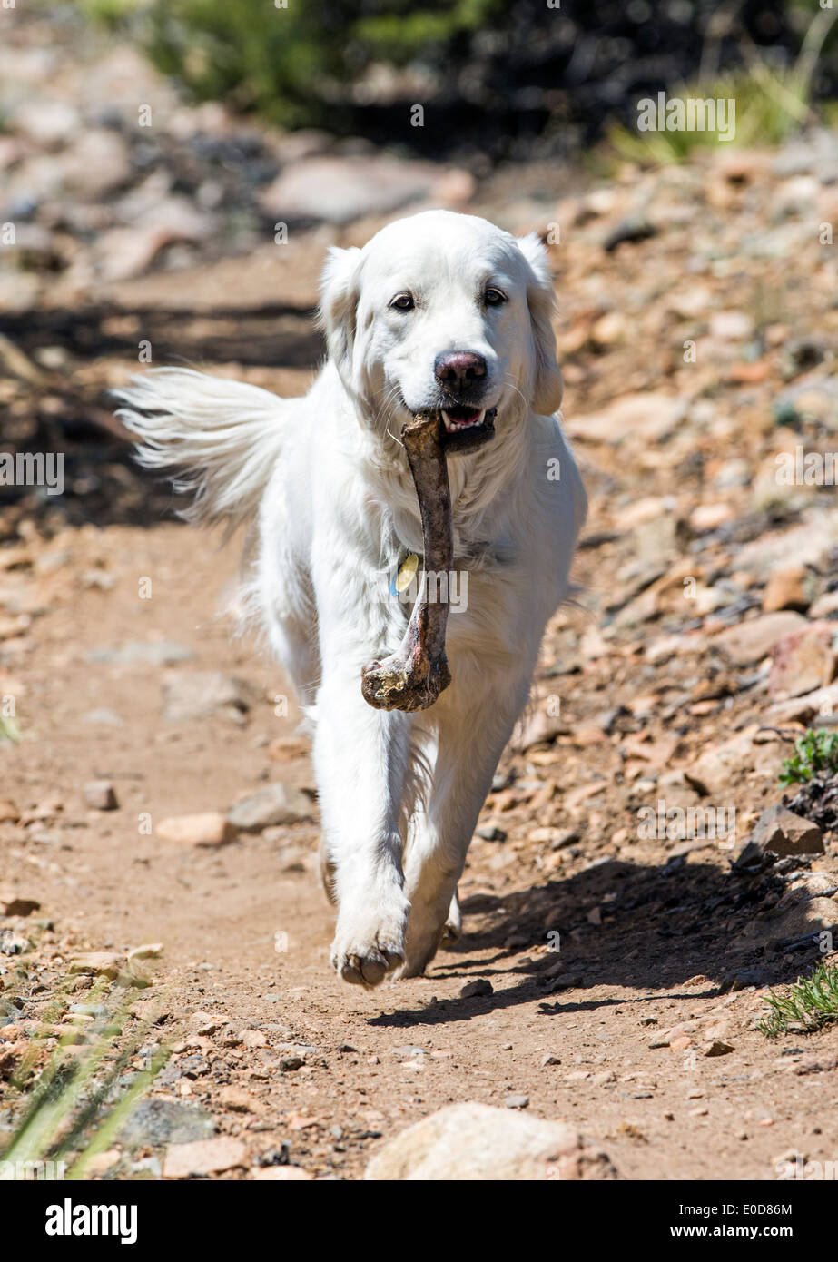 Platin farbige Golden Retriever Hund mit einem Knochen Hirsch auf einem Bergweg Stockbild