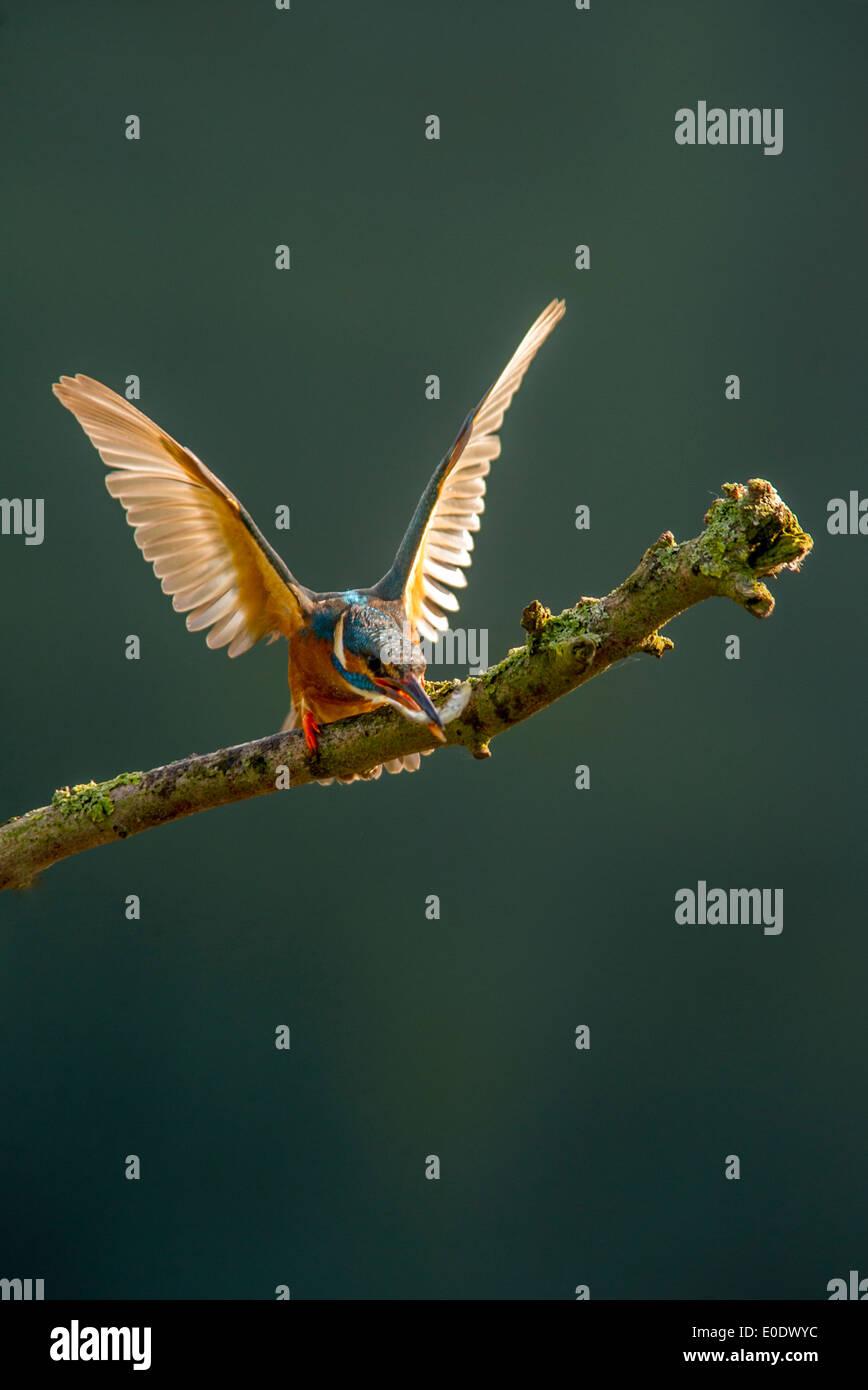 Eisvogel Alcedo Atthis mit Fisch zeigt aggression Stockbild