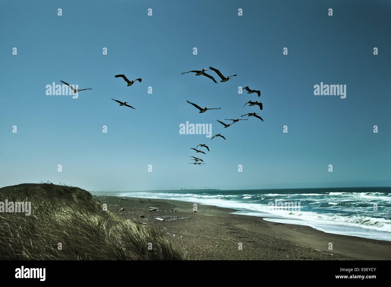 Geschwader der Pelikane im Flug über Strand Stockbild