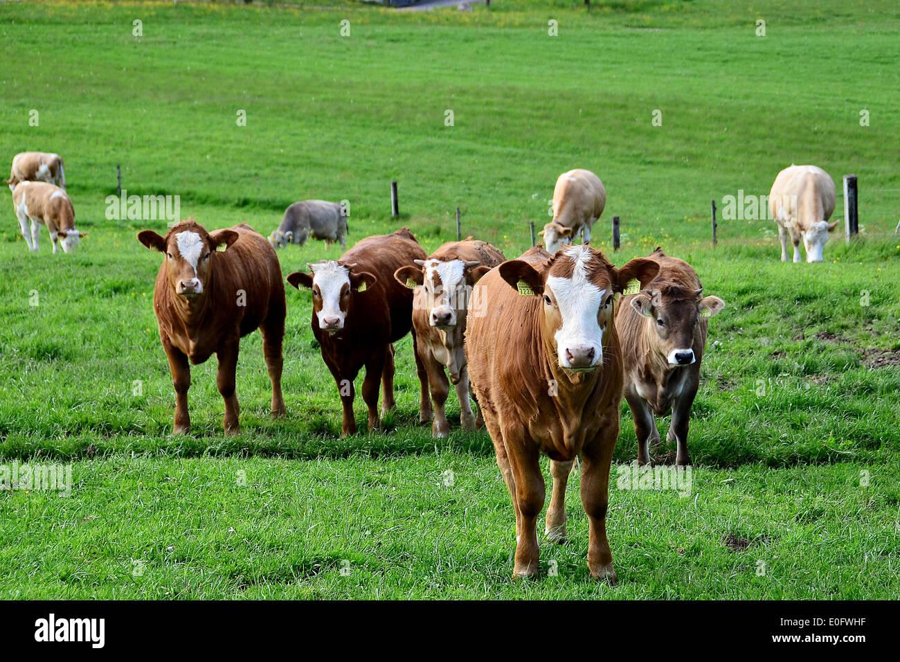 Neugierige Kühe in Worb, Schweiz Stockbild