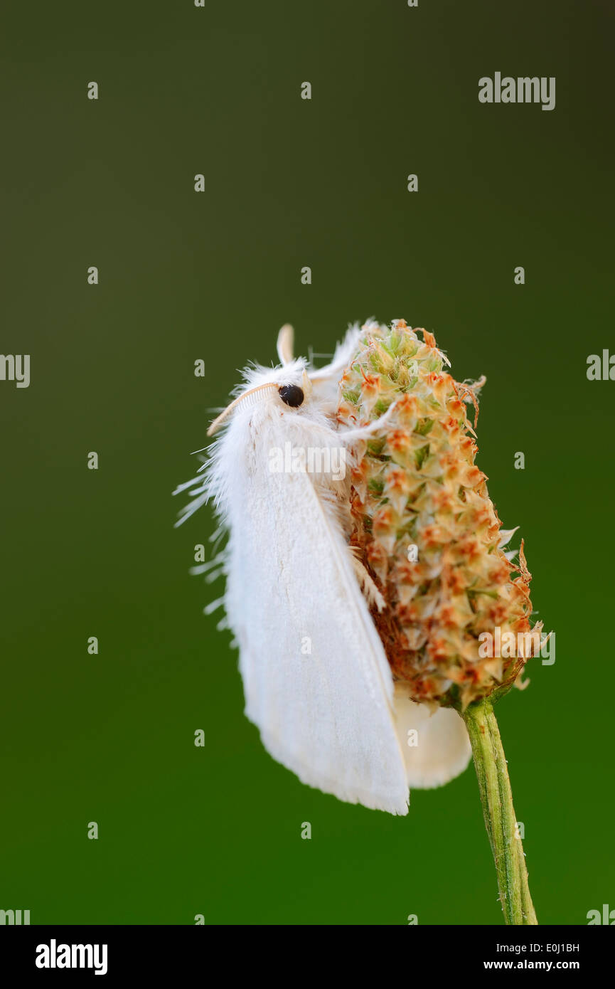 Gelb-Tail Motte, Goldtail Motte oder Swan Moth (Euproctis Similis), North Rhine-Westphalia, Germany Stockbild