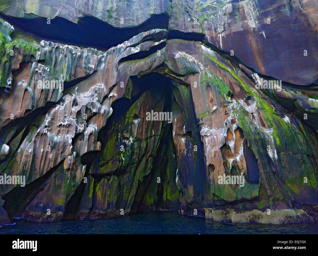 Vulkangestein mit Kittiwake Nester, Heimaey, Island, Mai (Rissa Tridactyla) Stockbild