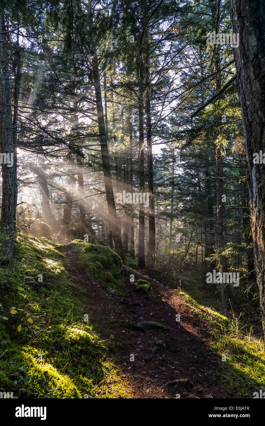 Niedrige Sonne durch immergrüne Bäume- Stockbild