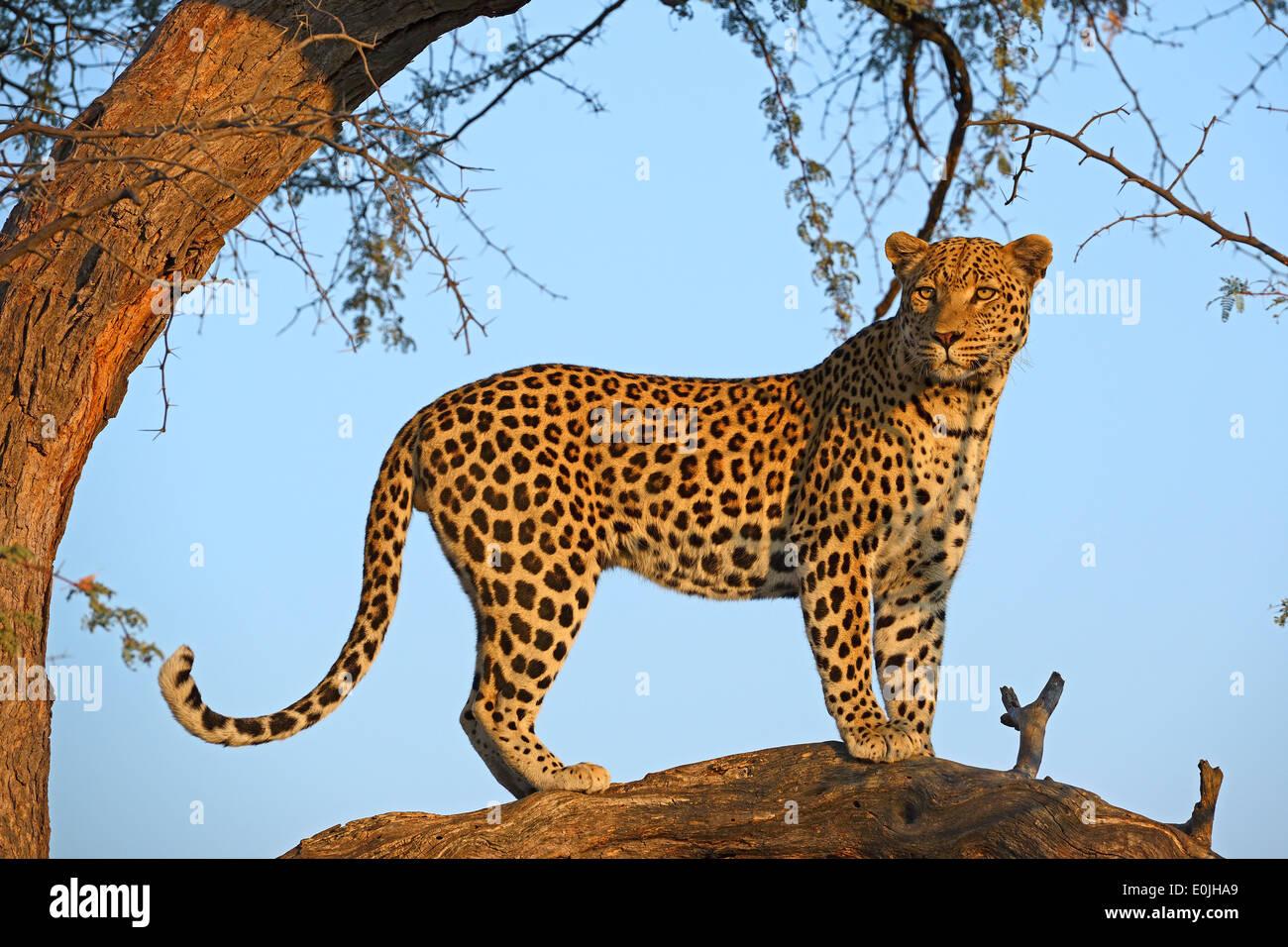 Leopard (Panthera Pardus) Haelt Ausschau Auf Einem Baum Im Ersten Morgenlicht, Khomas Region, Namibia, Afrika Stockbild