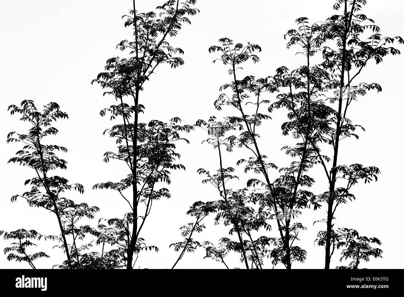 """Toona Sinensis 'Flamingo'. Chinesische """"Flamingo"""" Mahagonibaum Zweige und Blätter vor einem weißen Hintergrund. Schwarz / weiß Stockbild"""