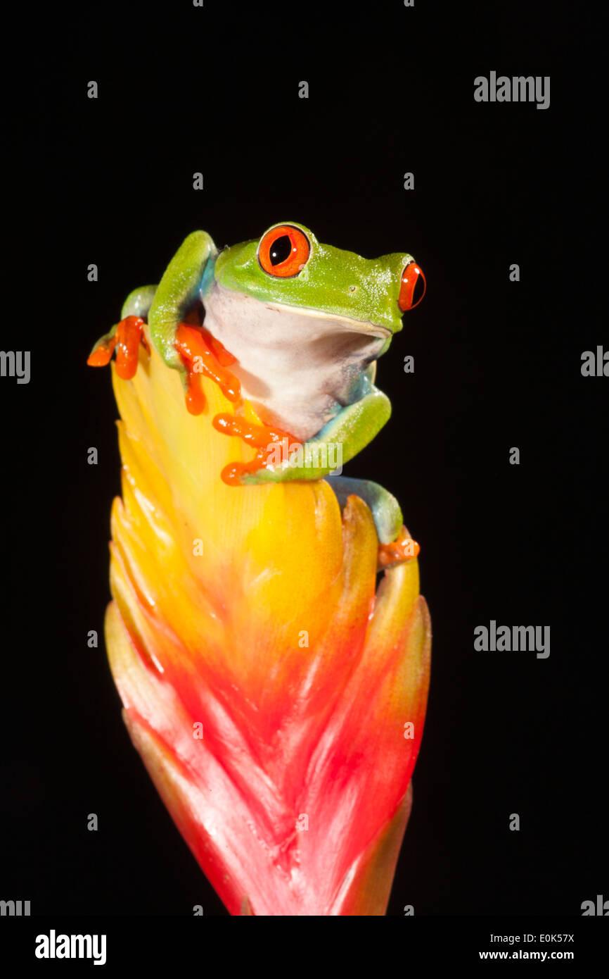Rote Augen Treefrog, heimisch in Mittelamerika; kontrollierten Situation (Agalychnis Callidryas) Stockfoto