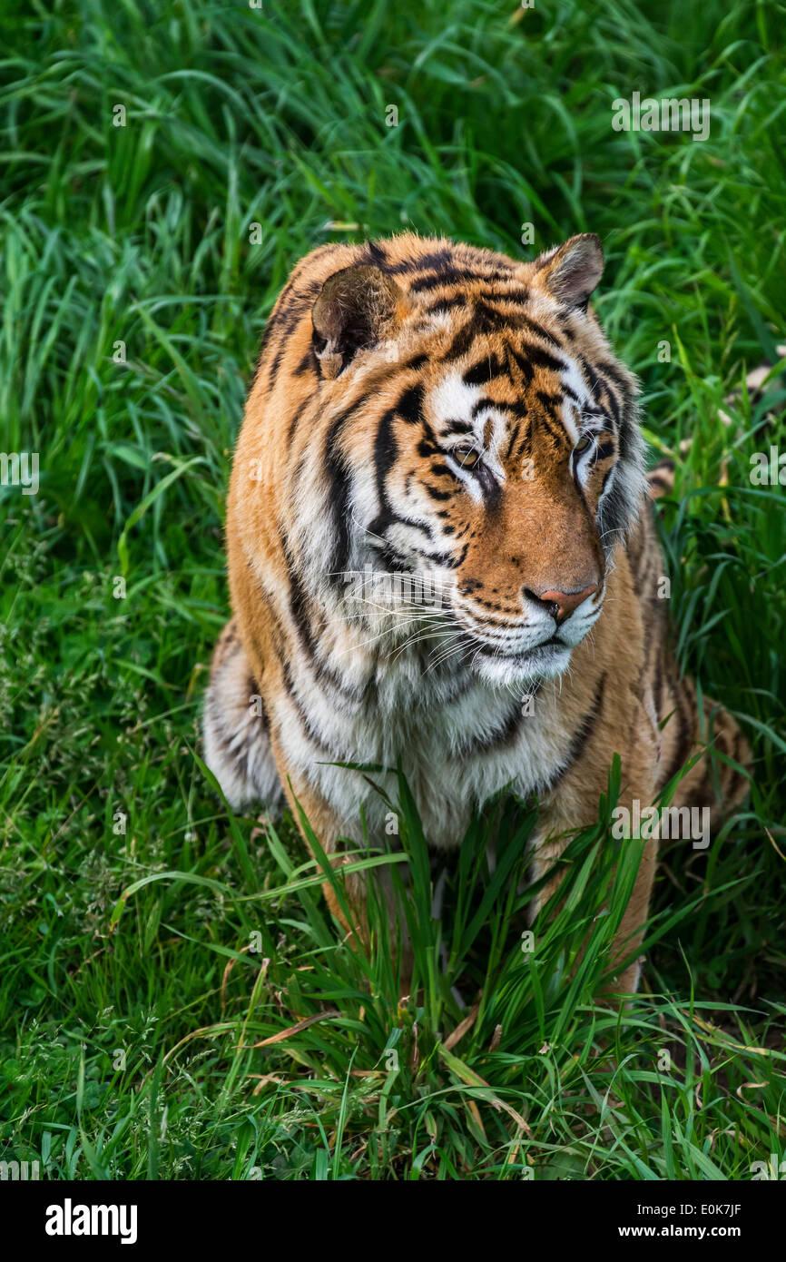 Bengal Tiger (Panthera Tigris Tigris) beobachten Beute in hohe Gräser, ursprünglich aus Indien, Bangladesch, Nepal und Bhutan Stockbild