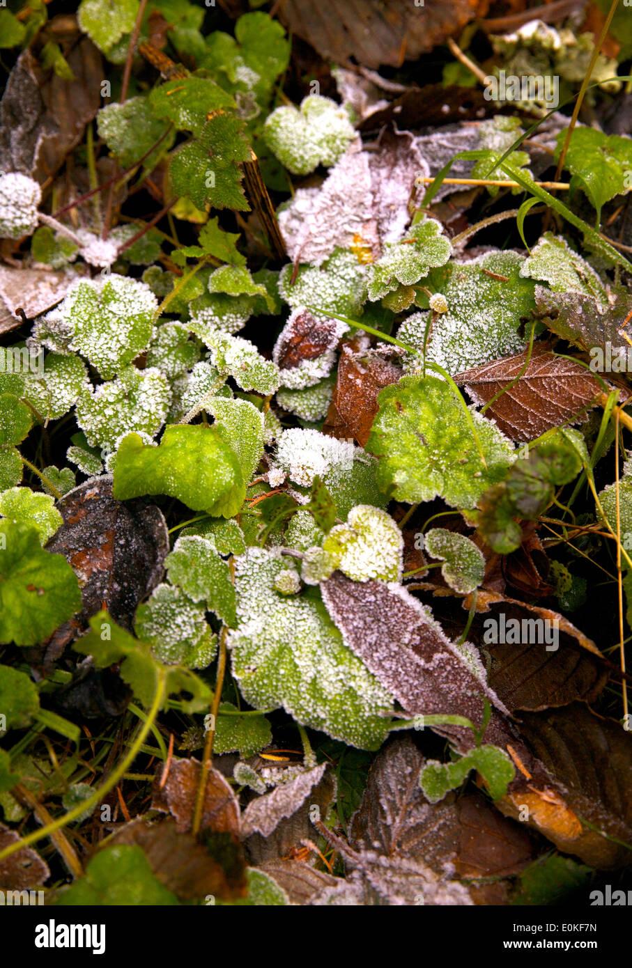 Ein Patch der Frost auf grün und braun hinterlässt auf den Waldboden. Stockbild