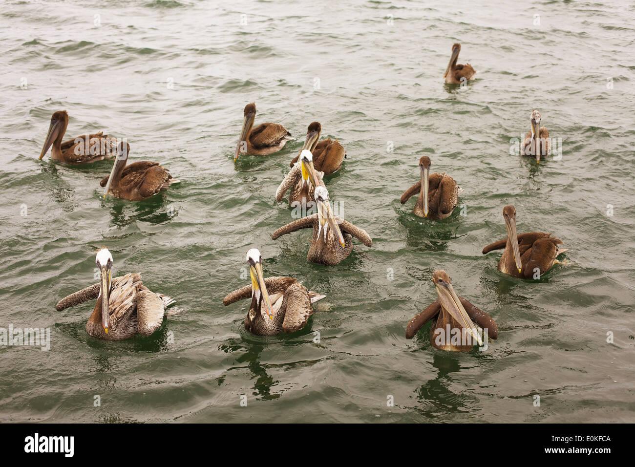 Eine Gruppe von neugierig braune Pelikane schwimmen in einer Gruppe auf den Pazifischen Ozean in San Diego, Kalifornien. Stockfoto