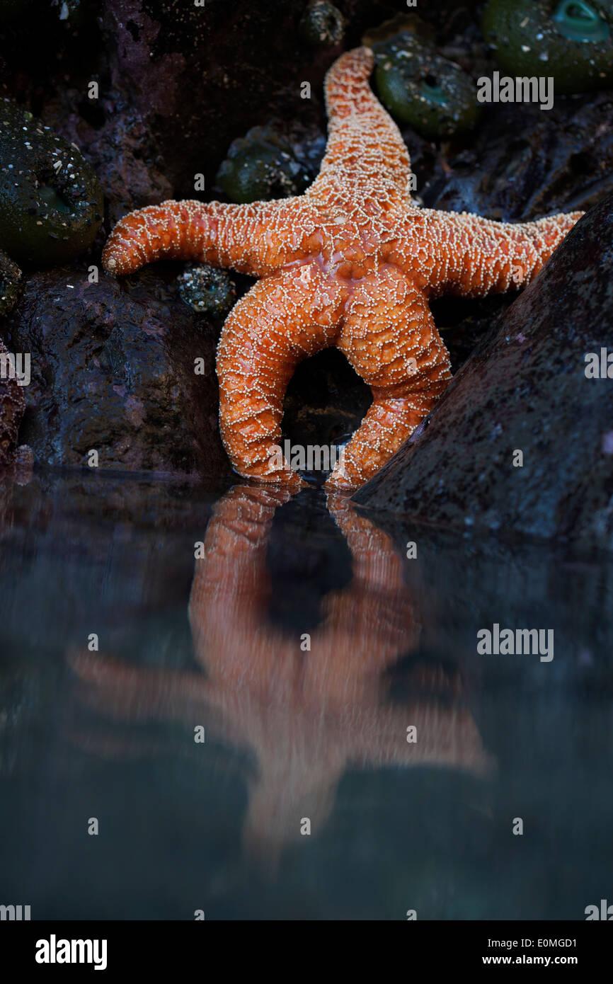 Ein Seestern scheint sich bei Ebbe, südliche Küste von Oregon, USA (Pisaster Ochraceus) Stockbild