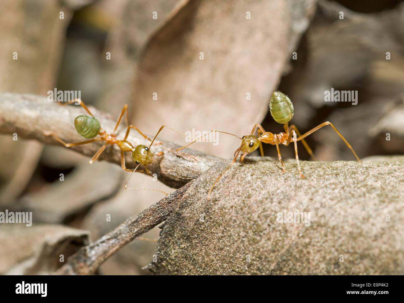 Australischen grünen Baum Ameisen ihr Nest zu verteidigen Stockbild
