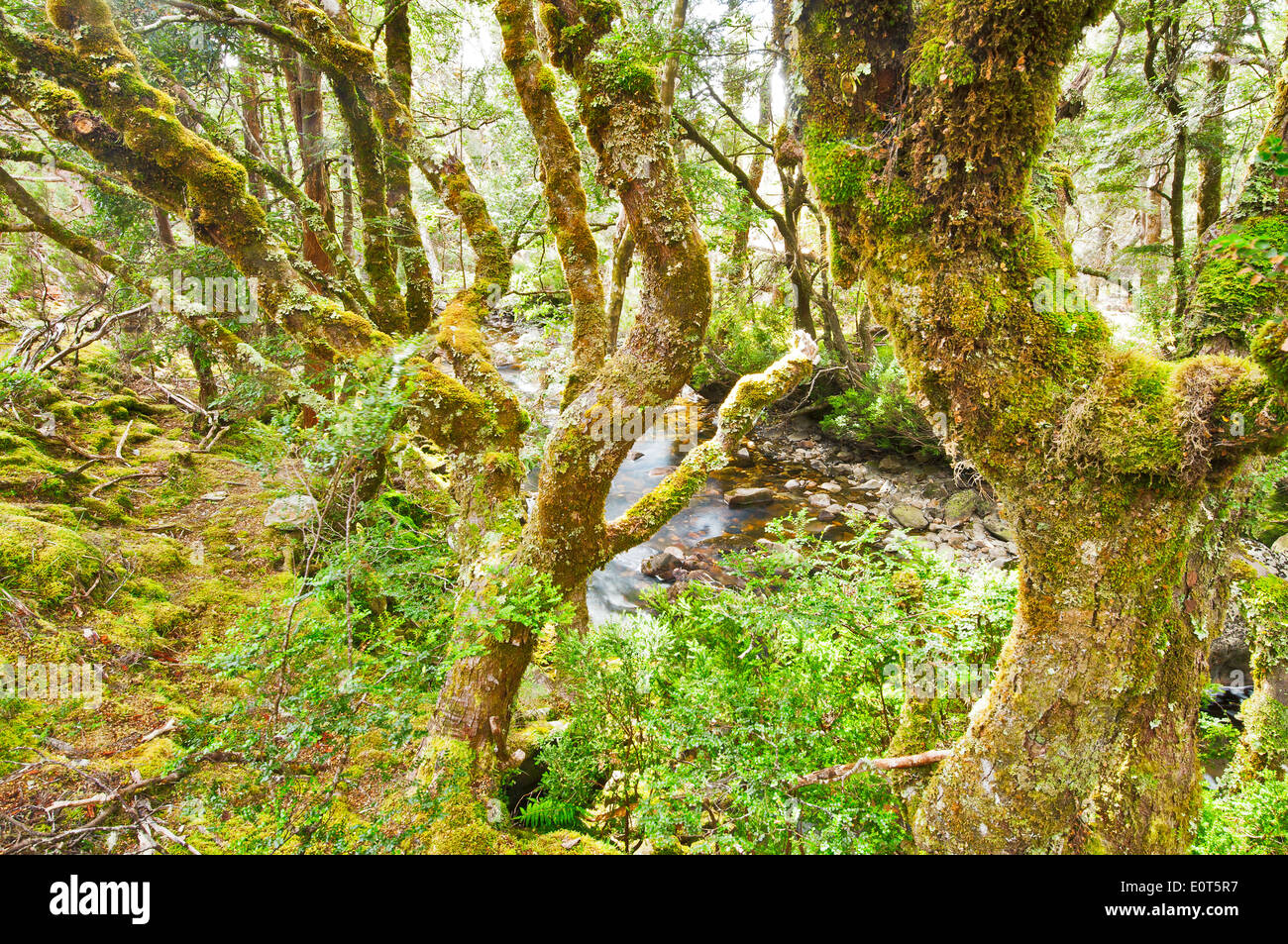 Zauberwald am Cradle Mountain. Stockbild