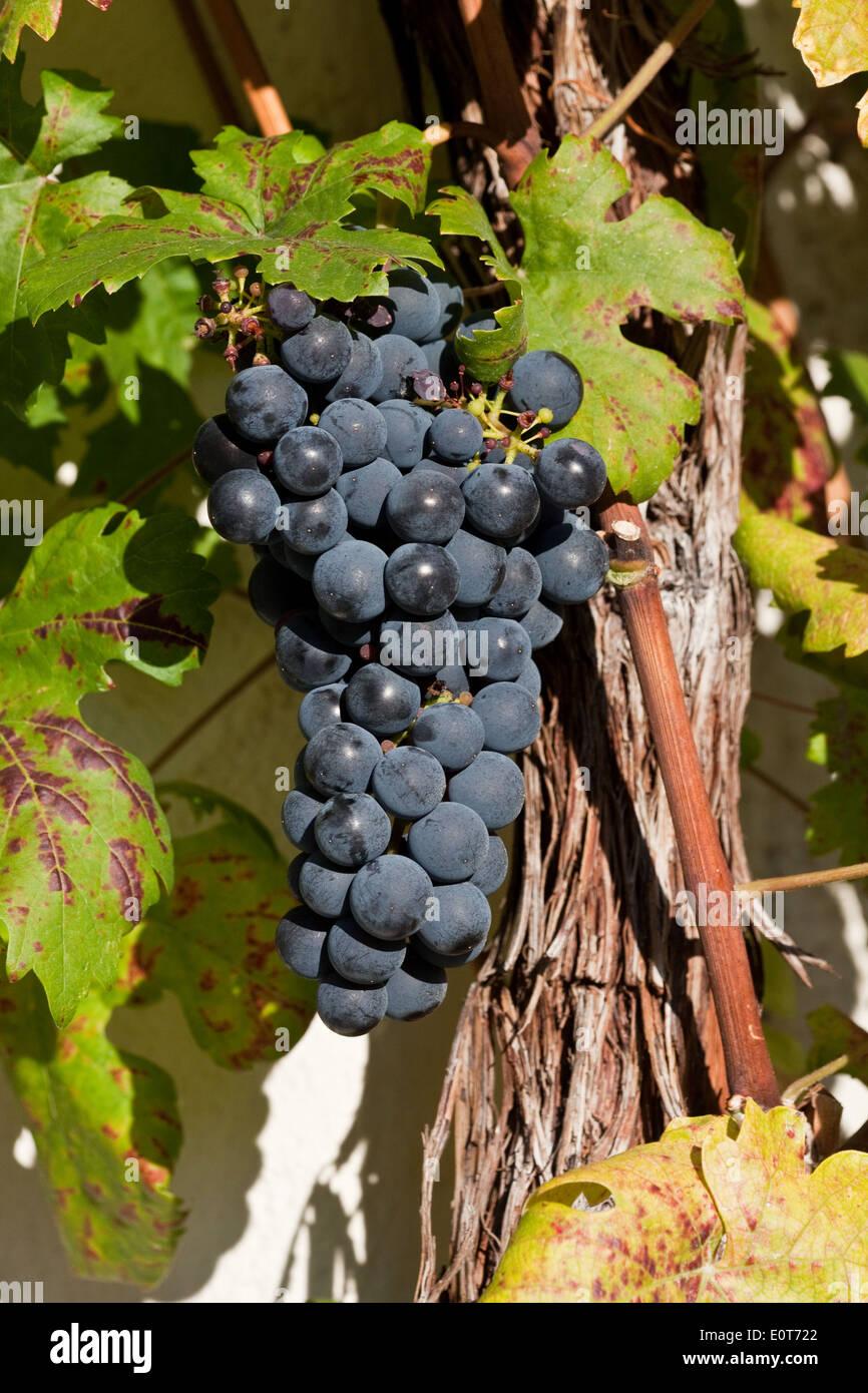 Blaue Weintrauben - Trauben Stockbild