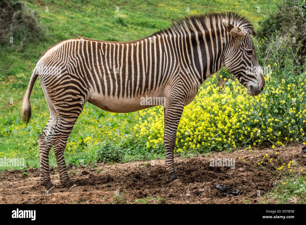 Grévy Zebras / imperial Zebra (Equus Grevyi) stammt aus Kenia und Äthiopien Stockfoto