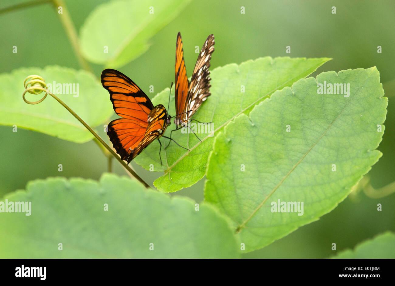 Paar von Juno Longwing Schmetterlinge Dione Juno im Ehevertrag Haltung auf eine Passionsblume Rebe Blatt Halbinsel Osa Costa Rica Stockbild