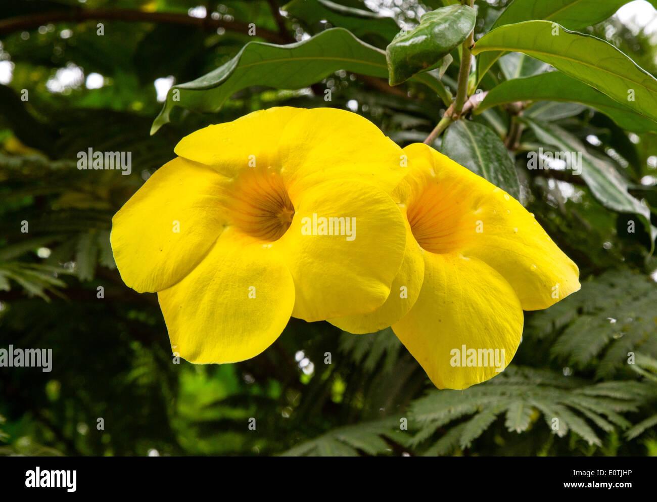 Großen gelben trompetenförmigen Blüten eines tropischen Strauches in Costa Rica Stockbild