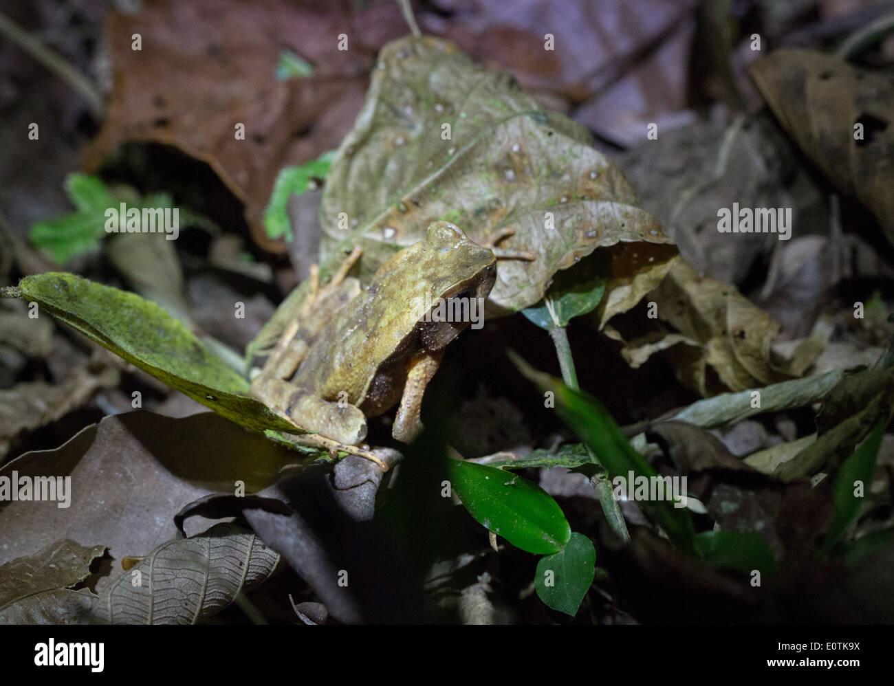 Perfekt getarnt Frosch sitzen durch einen Regenwald Blatt identisch ...